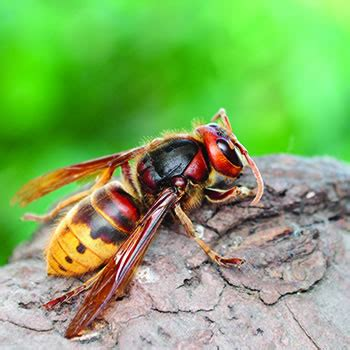 european hornet control removal of european hornets catseye pest control