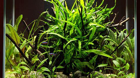 plantes aquatiques dans un aquarium trucs et conseils sur les aquarium pour la maison