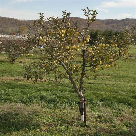 indoor citrus tree candycrisp apple apple trees stark bro 39 s