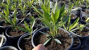Oleander Winterhart Kaufen : nerium oleander 39 jannoch 39 oleander rot winterhart ~ Eleganceandgraceweddings.com Haus und Dekorationen