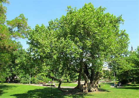 File:Platan na Karlove namesti (1).jpg - Wikimedia Commons