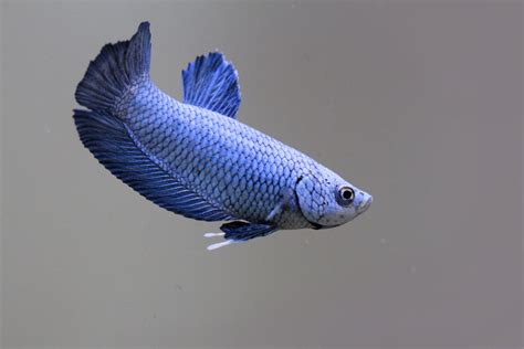 suggest adorable names   delicate darling betta fish