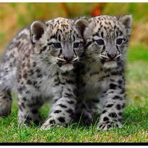 BABY SNOW LEOPARDS | Cats | Pinterest