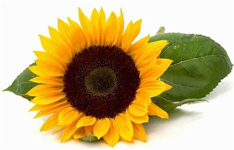 keunikan manfaat bunga matahari toko bunga