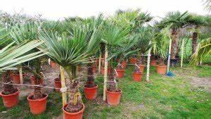 Trachycarpus Fortunei Auspflanzen : winterharte palmen zum festen auspflanzen in ihren garten ~ Eleganceandgraceweddings.com Haus und Dekorationen