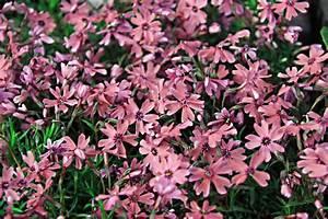Bodendecker Gelb Blühend : teppich phlox rot phlox subulata rot g nstig online kaufen ~ Frokenaadalensverden.com Haus und Dekorationen