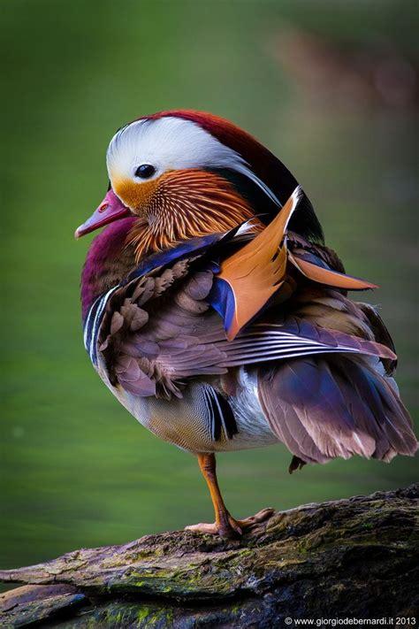 mandarin duck ideas  pinterest pretty birds