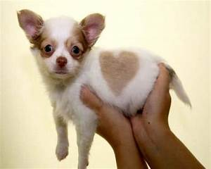 Black And Brown Teacup Chihuahua Puppies | www.pixshark ...