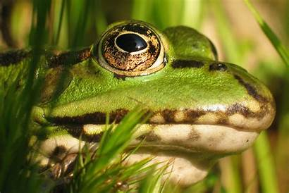 Frogs Grenouille Wallpapers Head Animals Rana Gehring