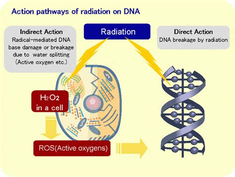 Radiation Vs Human Dna