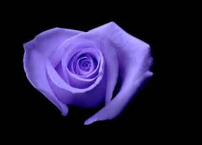 Purple Roses and Hearts Shaped