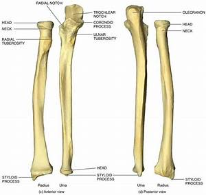 Anatomy Of Ulna Bone 6 Best Images Of Ulna Blank Diagram