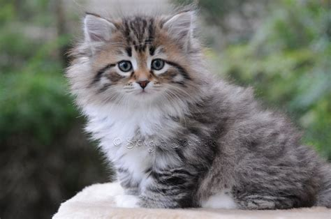 siberian cat kitten grey tabby cats kittens brown cute spotted breeds sitting colours most paddington table garden wonderful shorthair very