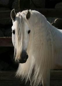 white, horse, , long, mane