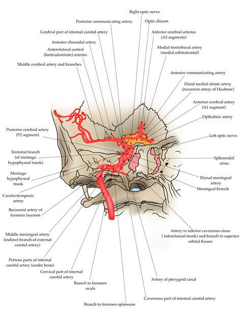 The internal carotid artery is a major branch of the common carotid artery, supplying several parts of the head with blood, the most important one being the brain. The path of the internal carotid artery - Clinical Anatomy ...
