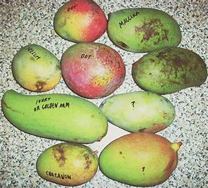 Growing Mango From Seed: How to Grow Your Own Mango Babies