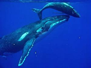 [HAFF] Baby Blue Whales eat 200 pounds of it's mother's ...