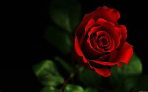 Beautiful Flower Red Rose Photo wallpaper | 2560x1600 | #22542