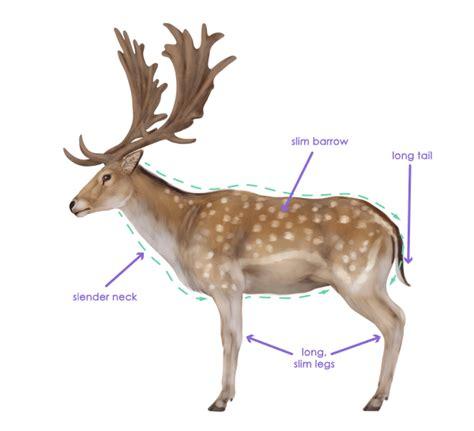 draw animals deer species  anatomy learn