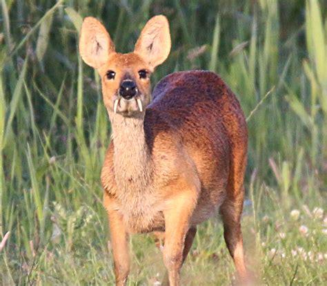 Meet 6 Small and Bizarre Deer Species Cool Green Science