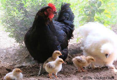 Chicken Chick Identification