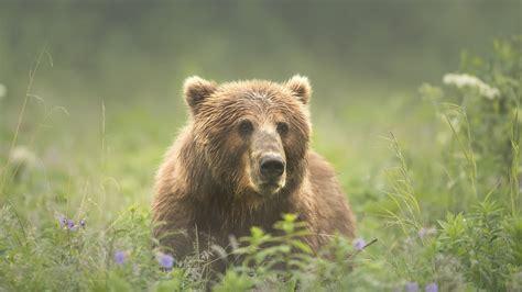 Wallpaper Brown bear look head grass summer 1920x1080