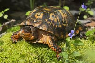 an overview of a box turtle s diet