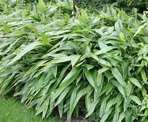 Bambus Zurückschneiden Frühjahr : bambus lexikon bambus schneiden und formieren ~ Whattoseeinmadrid.com Haus und Dekorationen