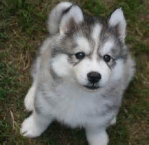 52 best images about husky on pinterest puppys siberian