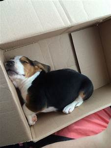 595 best Beagle Puppies images on Pinterest   Beagle puppy ...