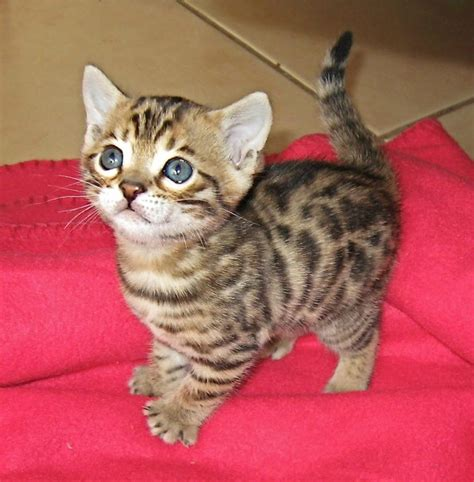 How Much Does A Bengal Kitten Cost?  Annie Many
