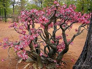 """""""Impala Lily, Kruger National Park, South Africa"""" by"""