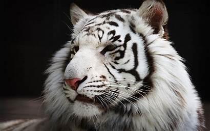 Tiger Tigre Blanco Blanc Head Animal Wallpapers