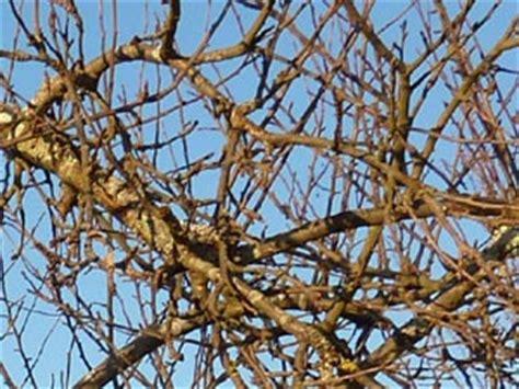 comment tailler un tilleul elaguer un cerisier elagage d 39 un cerisier elaguer un