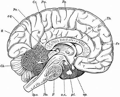 Brain Clipart Etc