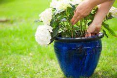 Welche Erde Für Hortensien : hortensie diese sorten gedeihen im schatten ~ Eleganceandgraceweddings.com Haus und Dekorationen