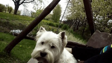 westie gifs find share  giphy