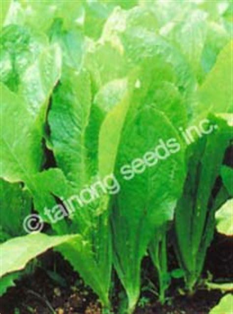 lettuce tainong seeds