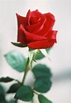 rose - Wiktionary