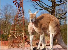 Rotes Riesenkänguru Erlebnis Zoo Hannover