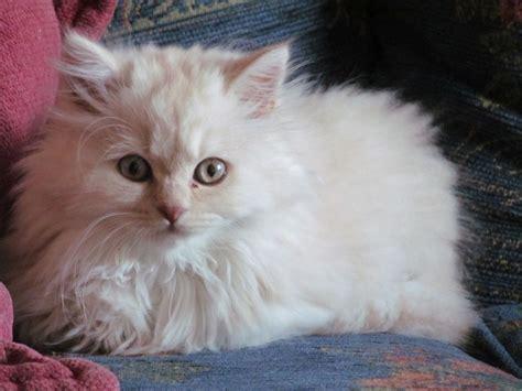 shorthair kittens for sale shorthair and longhair kittens for sale woodhall