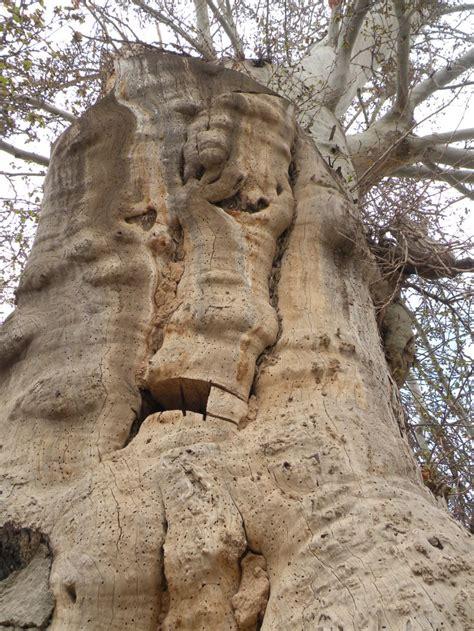 chnar khnsal msjd baghoar tosrkan plant nature