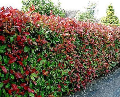 Photinia 'red Robin'. Plantas Para Setos Altos