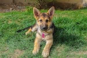El Pastor Alemán, las características de un perro de trabajo pastoraleman10