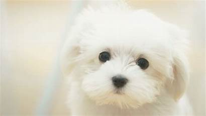 Puppy Wallpapers Puppies Backgrounds Desktop Dog Background