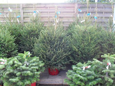 buy real christmas trees in leicester sapcote garden centre