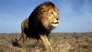 Borne Free Lyon : african lions born free no born captive to be killed ~ Medecine-chirurgie-esthetiques.com Avis de Voitures