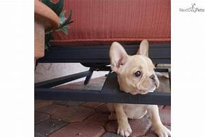 French Bulldog puppy for sale near Fort Lauderdale ...