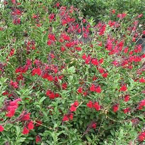 Salvia greggii 'Furman's Red'