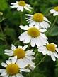 Matricaria chamomilla (German Chamomile)   World of ...